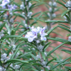 Picture of spa oil - Rosemary